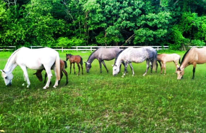 Horses at Stonehedge Inn and Spa.