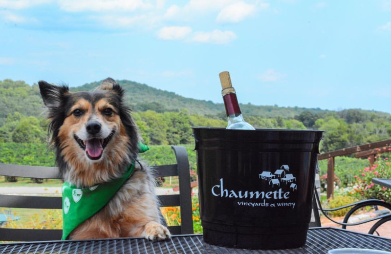 Pets welcome at Chaumette Vineyards & Winery.
