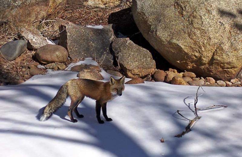 Fox at 4 Seasons Inn.