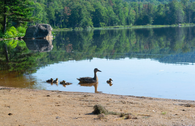 Ducks at Old Forge Camping Resort.