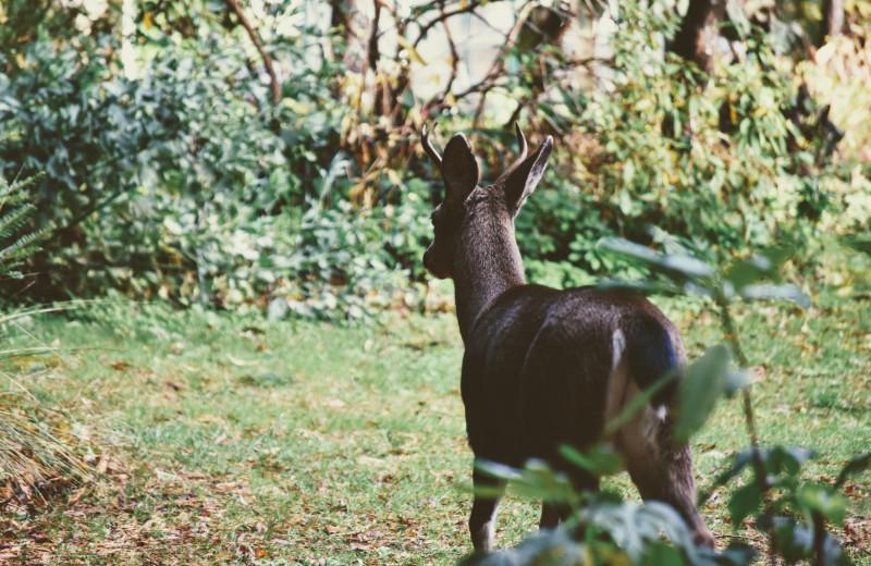 Deer at Ocean Wilderness Inn & Spa Retreat.