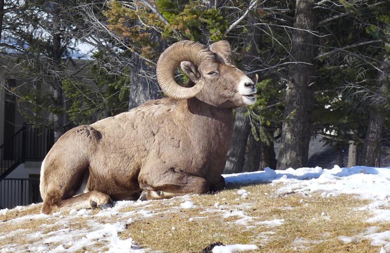Ram at Bighorn Meadows Resort.