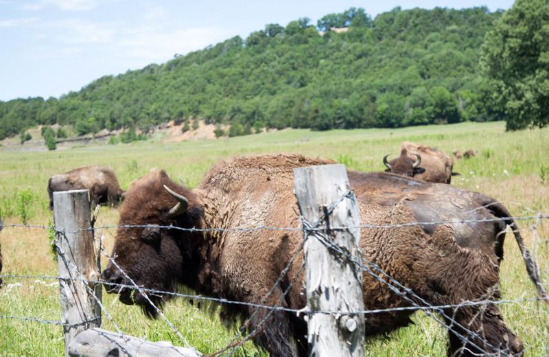 Bison at Long Lake Resort.