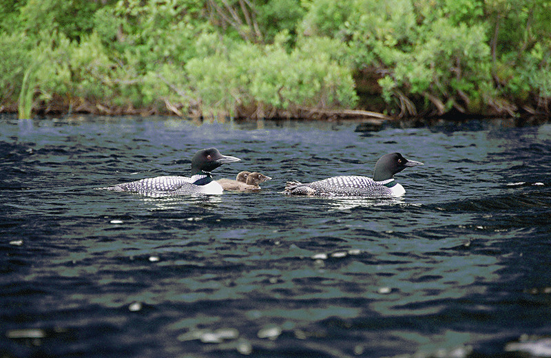 Nesting Loons on pristine international Lake Wallace provides endless hours of sightings and enchanting calls day & night.