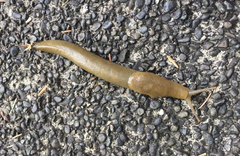 Sea slug at Sandpiper Beach Resort.