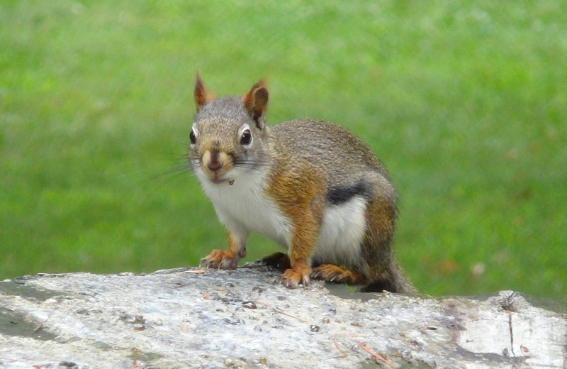 Squirrel at Birchcliff Resort.