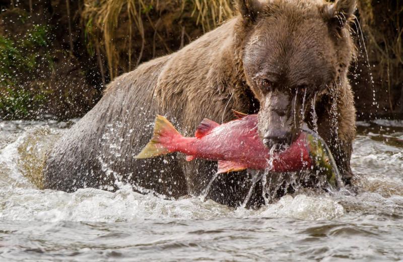 Bears at Favorite Bay Lodge.