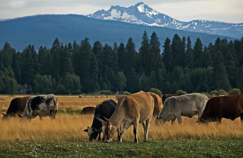 Cattle at Black Butte Ranch.