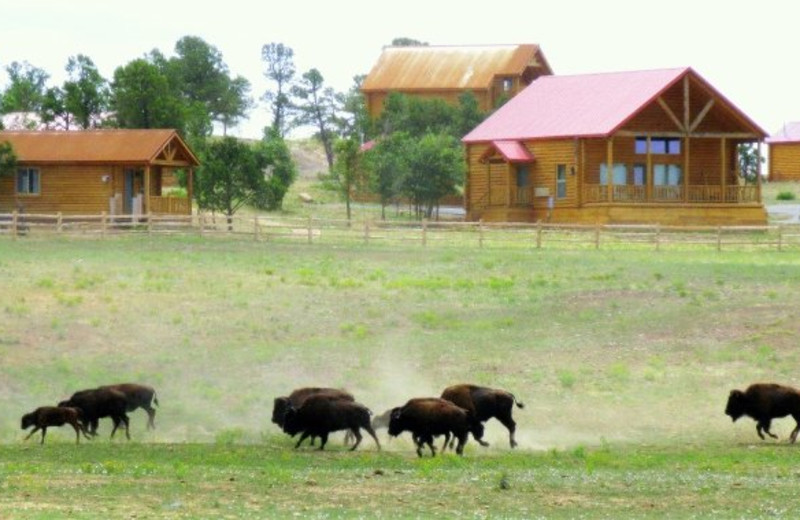 Exterior view with bison at Zion Mountain Ranch.