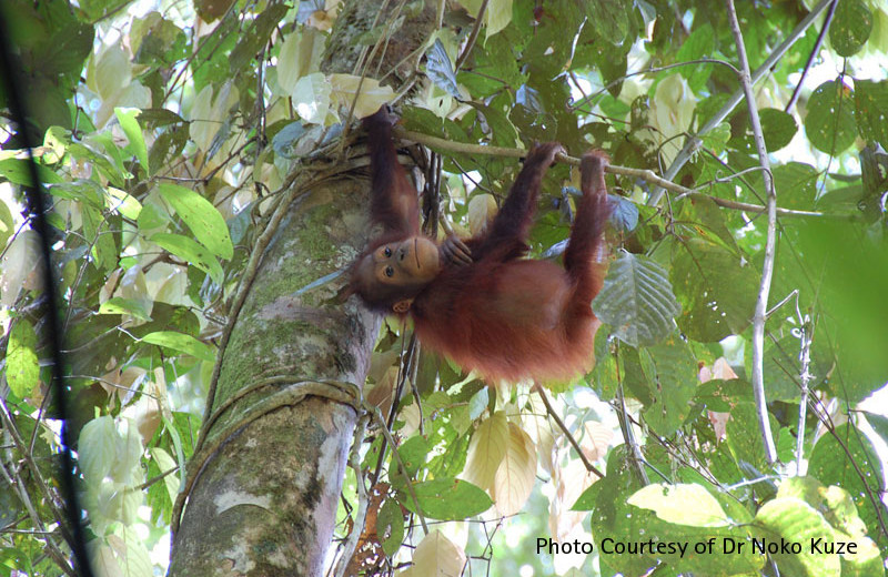 Orangutan tours at Borneo Rainforest Lodge.