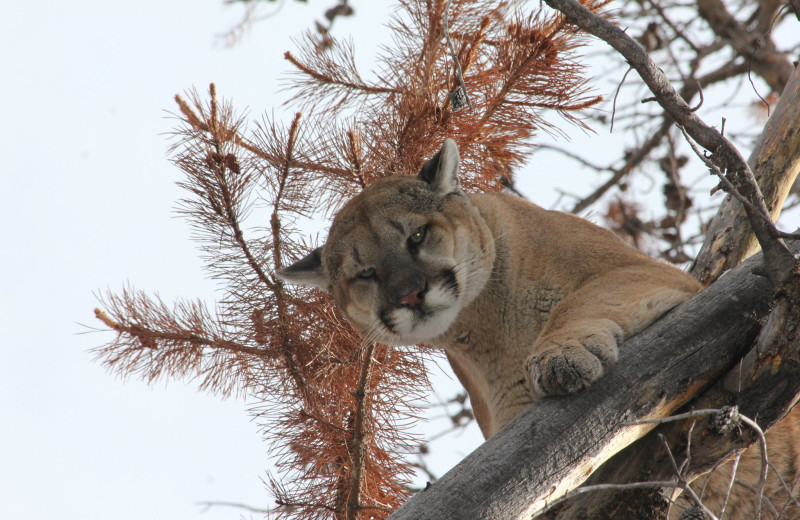 Cougar in tree at Kendall Valley Lodge.