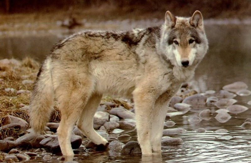 Wolf at Arctic Lodges.