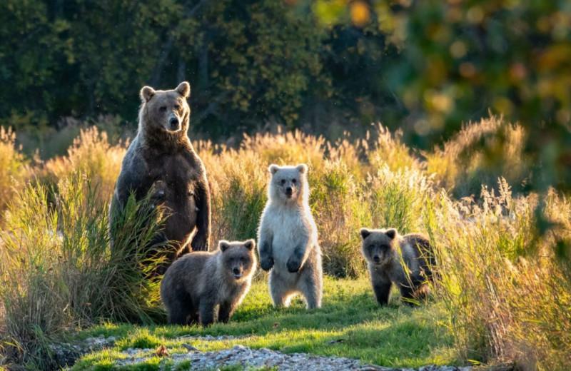 Bears at Afognak Wilderness Lodge.