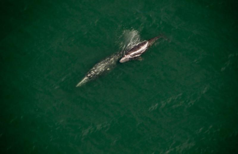 Gray whales near The Garibaldi House Inn.