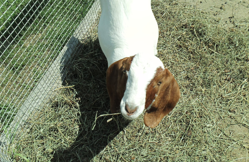 Goat at Ridin-Hy Ranch Resort.