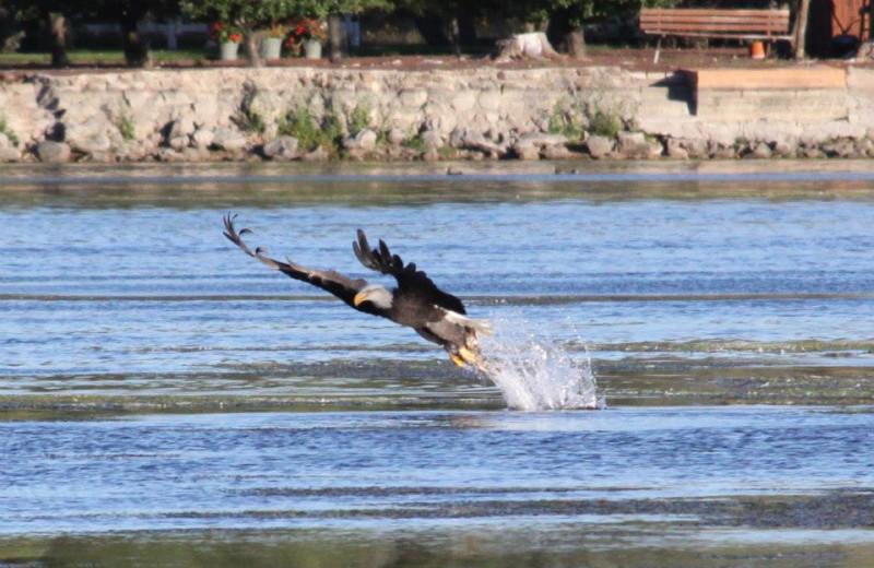 Eagle at Lazy Oaks Resort.
