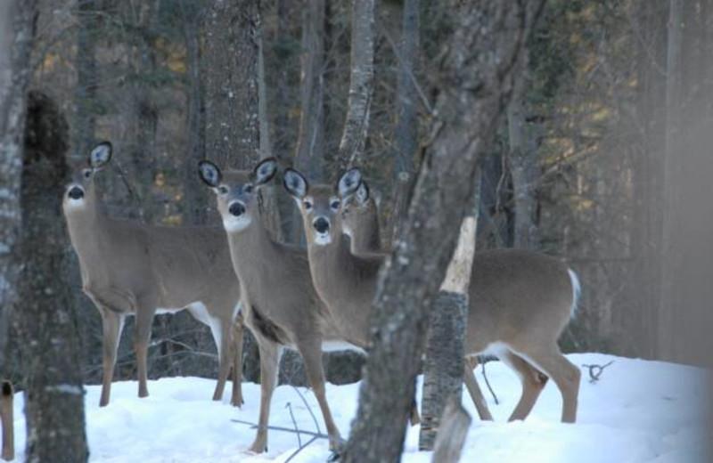 Deer at S & J Lodge.