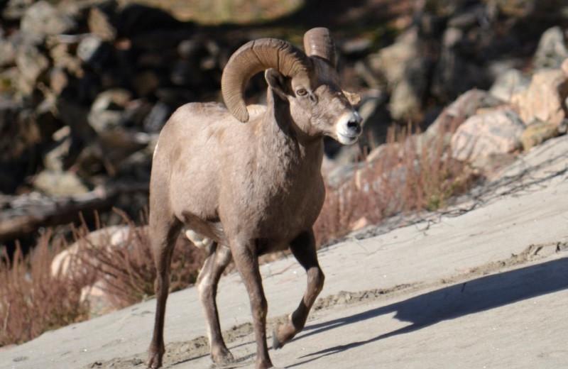 Mountain goat at Salmon River Tours.