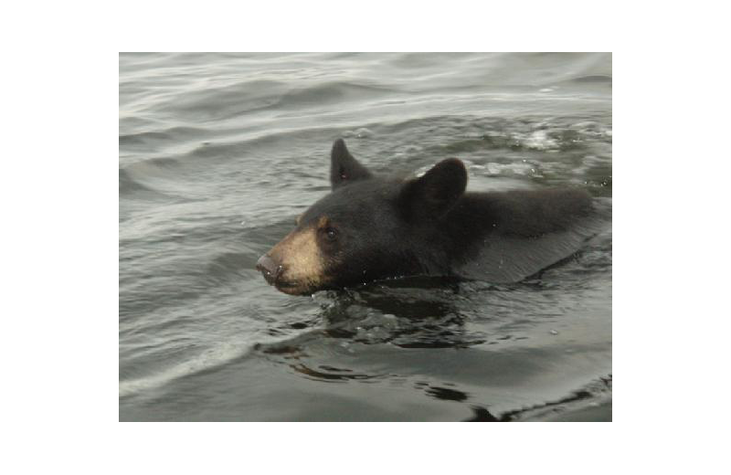 Bear swimming at Stokes Bay Resort.