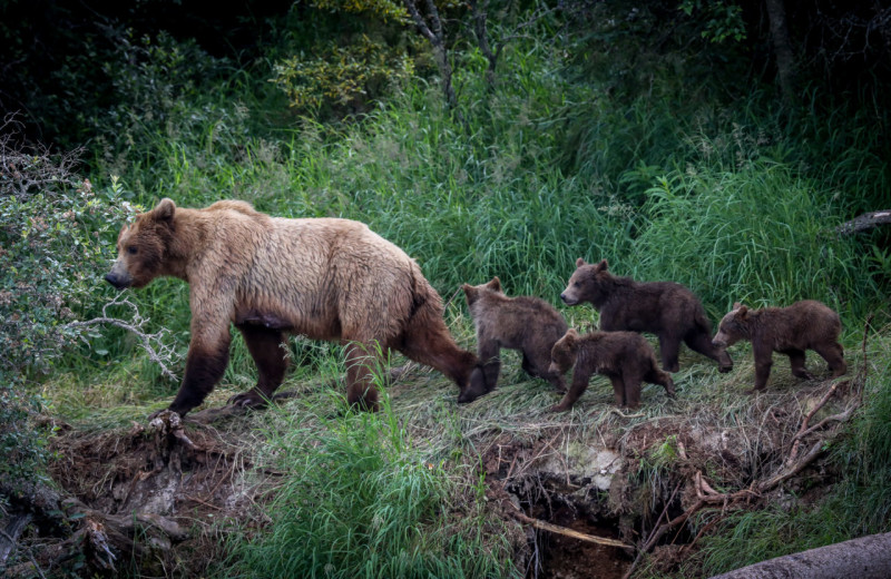 Bear with cubs at Alaska's Gold Creek Lodge.