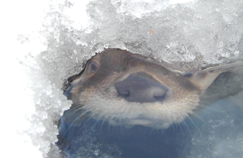Otter at Chaunigan Lake Lodge.