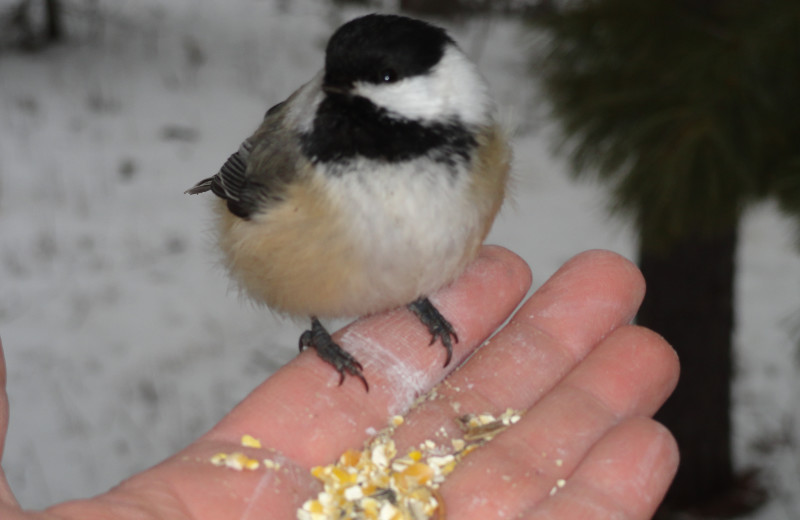 Hand fed chickadee at Northern Lights Lodge.