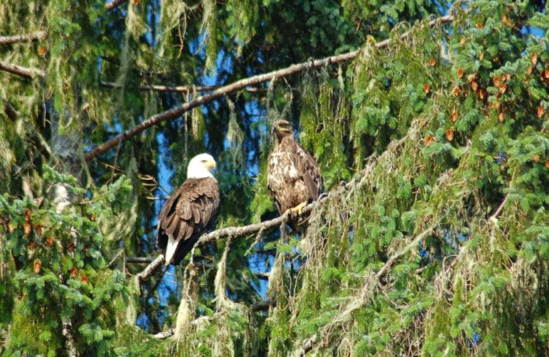 Eagles at Island Point Lodge.
