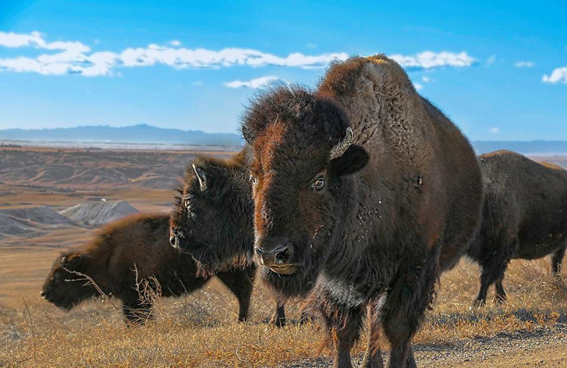 Bison at Ghost Canyon Ranch.