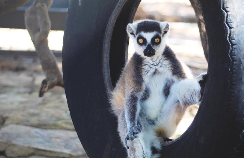 Lemur at The Exotic Resort Zoo.