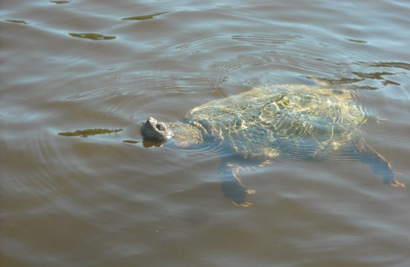 Snapping turtle at Rainbow Point Lodge.
