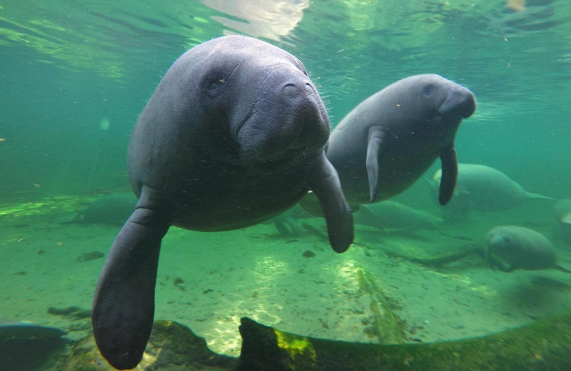 Manatees at Travel Resort Services, Inc.