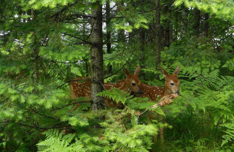 Deer at Northland Lodge.
