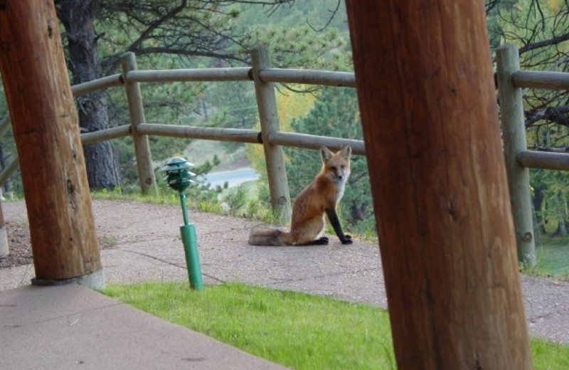 Fox at Black Canyon Inn.