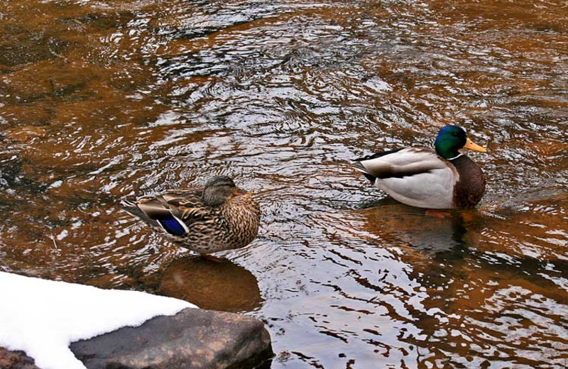 Ducks at Woodlands On Fall River.