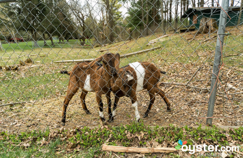 Goats at Birchcliff Resort.