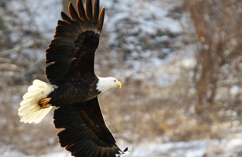 Eagle at Alaska's Big Salmon Lodge.