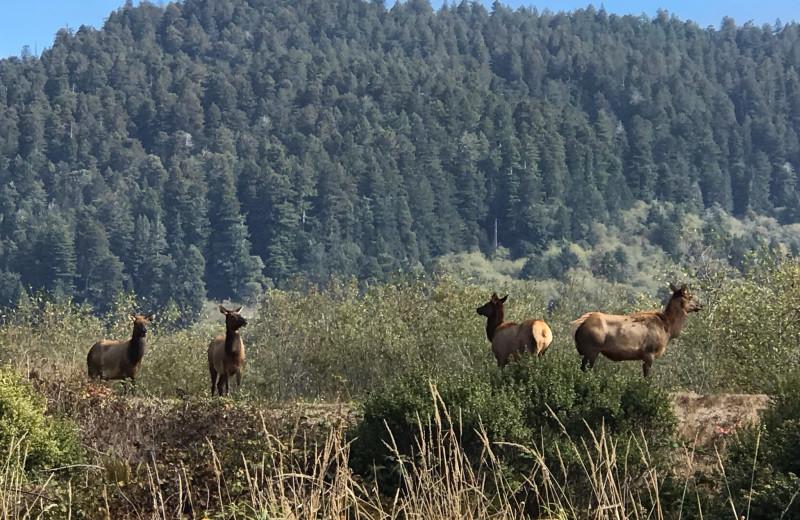 Elk at Redwood Coast Vacation Rentals