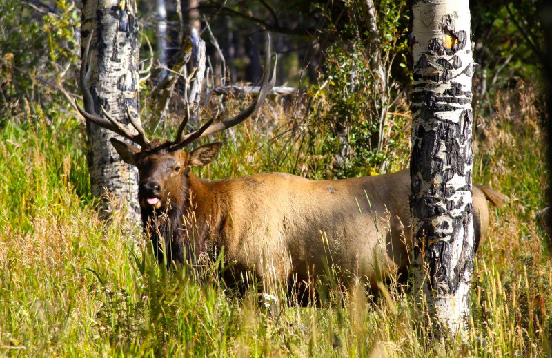 Elk at Wind River Ranch.