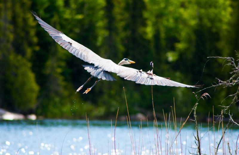 Crane at Cliff Lake Resorts.