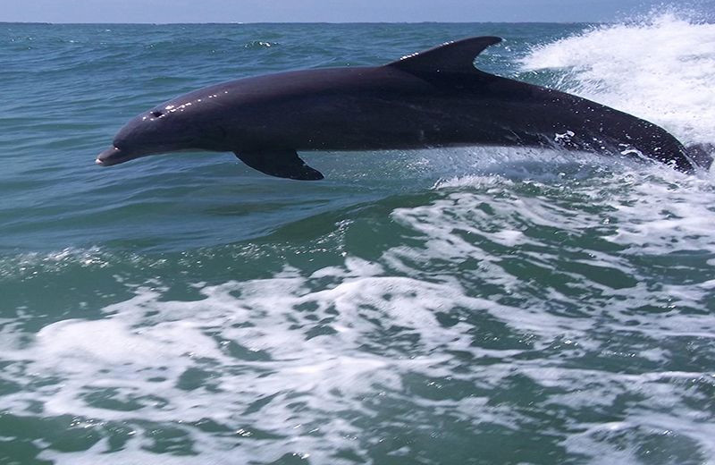 Dolphins at Plumlee Gulf Beach Realty.