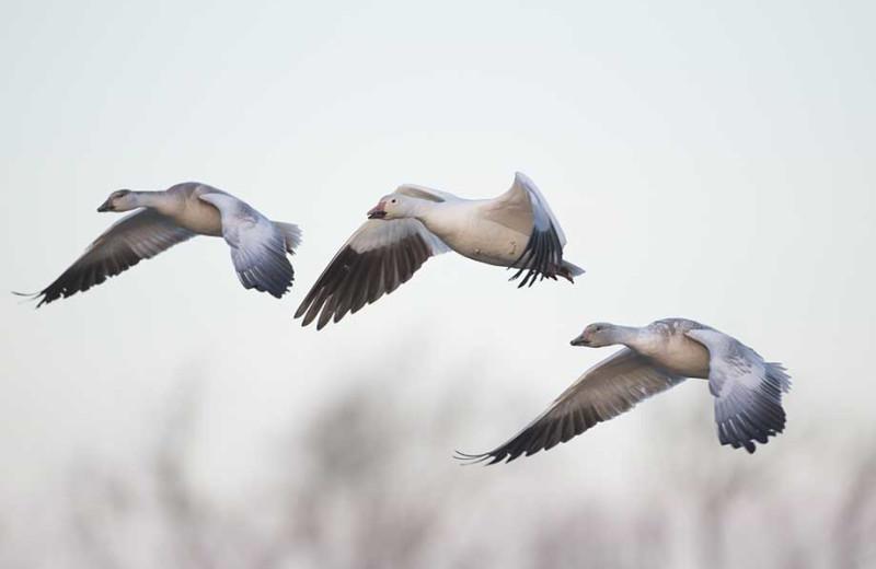 Geese at Alagnak Lodge.