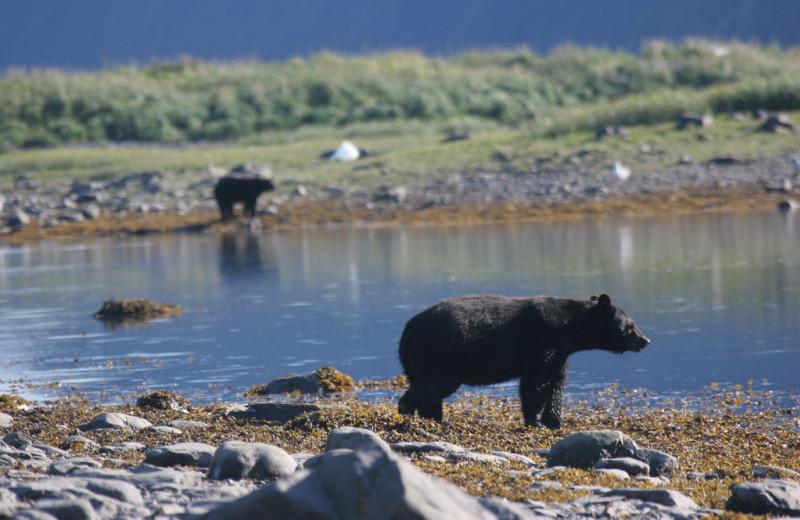Black bears at Kenai Fjords Glacier Lodge.