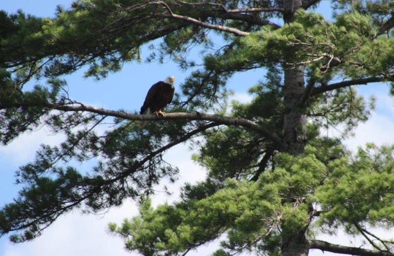 Eagle at North Country Inn.
