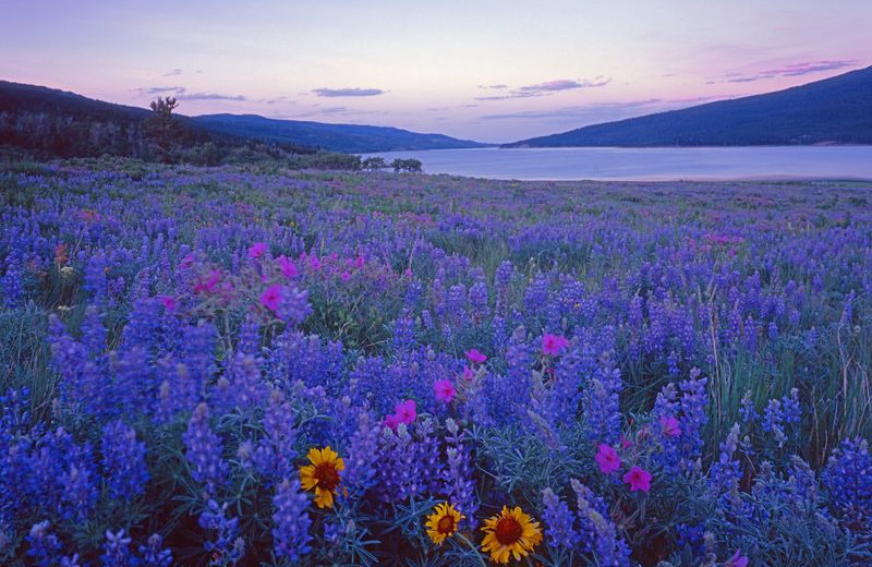 Flowers at Glacier National Park near North Forty Resort.