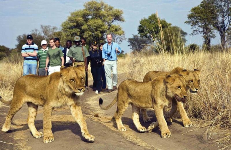 Safari at Kaazmein Lodge & Resort.
