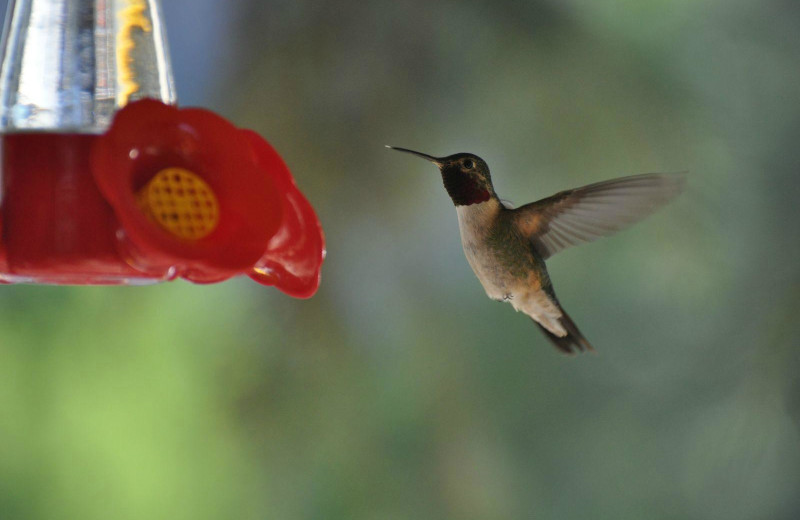 Hummingbird at Box Canyon Lodge & Hot Springs.