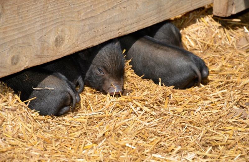 Baby Pigs at Horseshoe Canyon Ranch