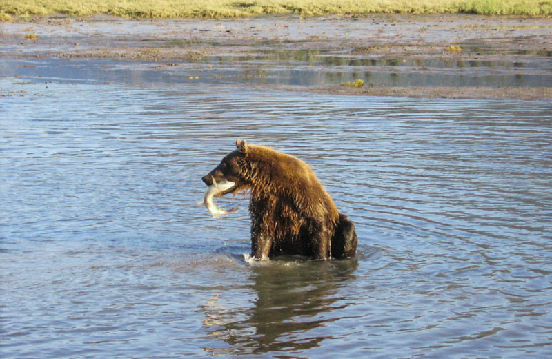 Bear with fish at Great Alaska Adventure Lodge.