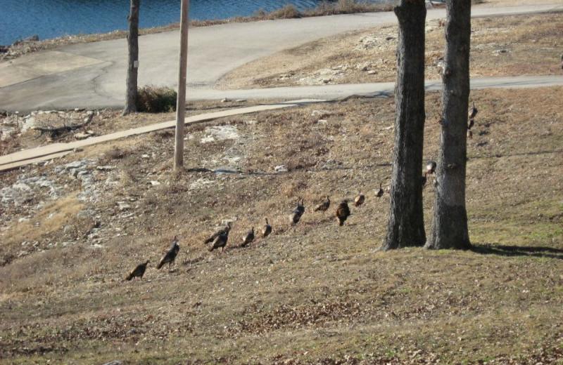 Turkeys at Artilla Cove Resort.