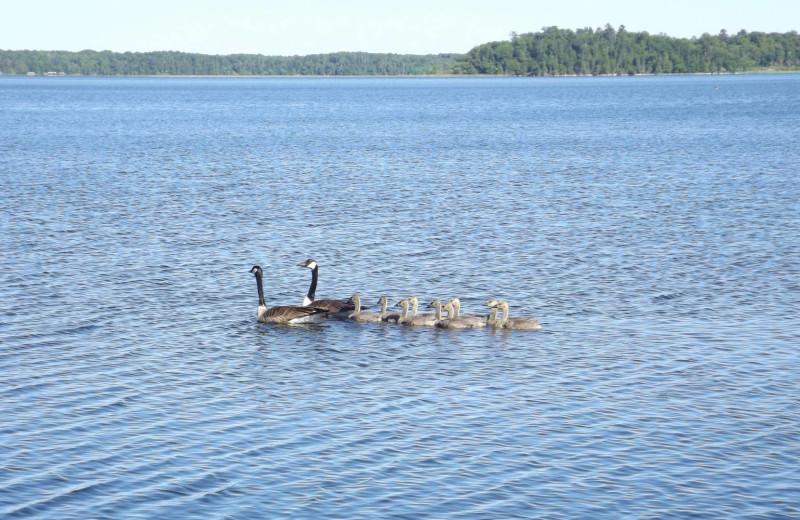 Geese at Driftwood Resort.